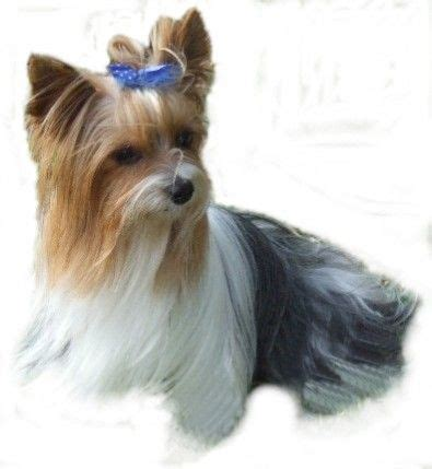 yorkie parti 17 best images about yorkie biewers on show pups and yorkie