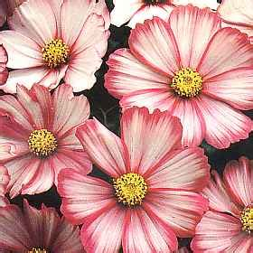 Bibit Bunga Cosmoas Lovely Pink cosmos flower garden seeds