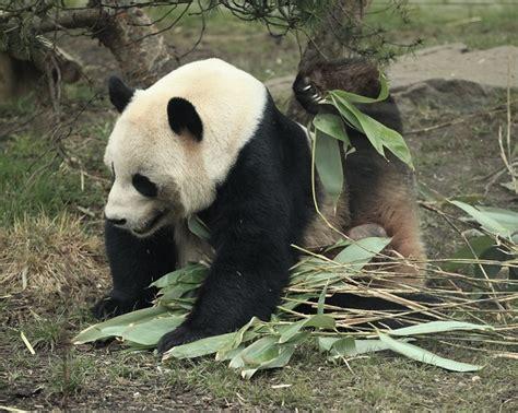panda resimleri