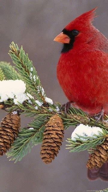 winter cardinal bird computer backgrounds  hd