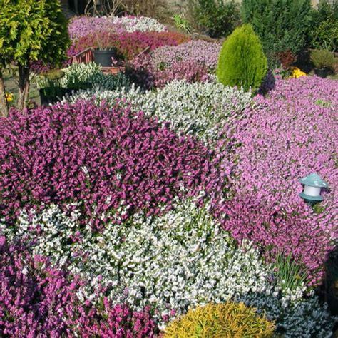 summer and winter flowering heathers clarenbridge garden centre