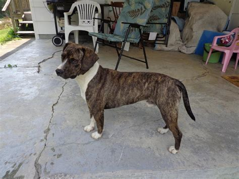 boggle puppies bogle boxer beagle mix info temperament puppies pictures