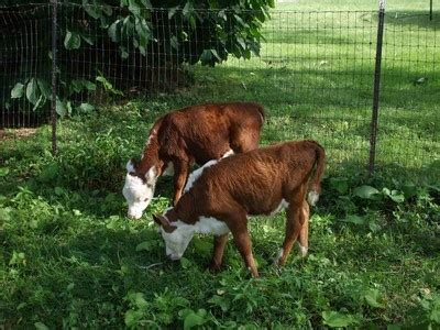 Backyard Miniature Herefords by 1000 Ideas About Miniature Hereford On