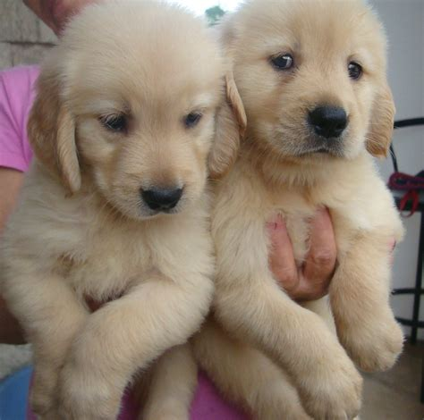 golden retrievers for adoption golden retriever up for adoption labrador and golden retriever mixed puppies posot
