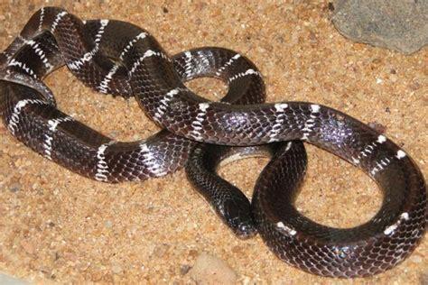 snakes common krait