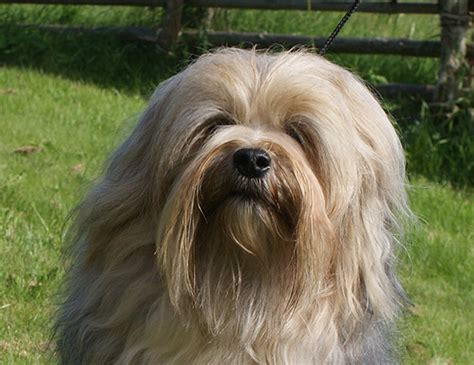 shih tzu lhasa apso expectancy span of lhasa apso