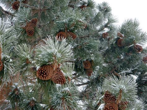 pine cone trees tree pics