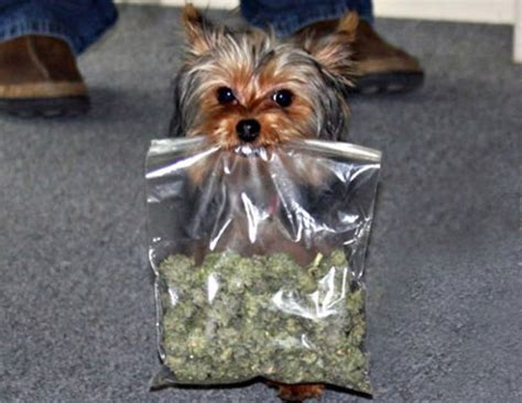 yorkie in a bag k 9s can t smell anymore