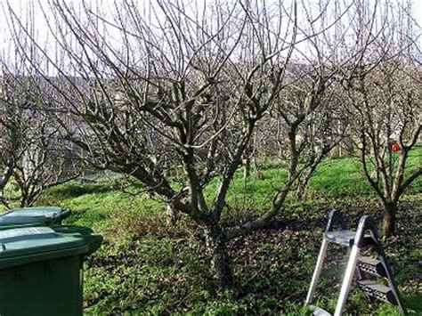 pruning overgrown fruit trees pruning fruit trees in march home on the hill