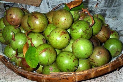 Tanaman Jadi Buah Sawo Duren Kenitu satu harapan sawo duren buah potensial tak kunjung populer