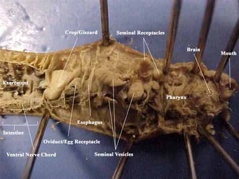 earthworm dissection lab grasshopper dissection labeled www pixshark images