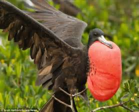 magnificent frigatebird puffs out bright red chest to