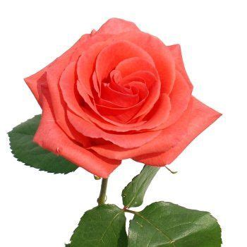 marjan coral marjan coral orange orange roses coral wedding