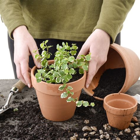 potting indoor plants potting indoor plants your guide from lifestyle to