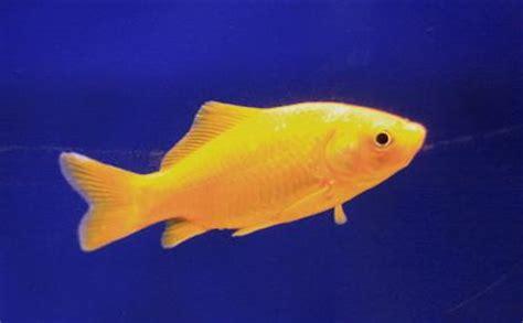 alimentazione canarini gialli pesce rosso giallo canarino angoli di natura
