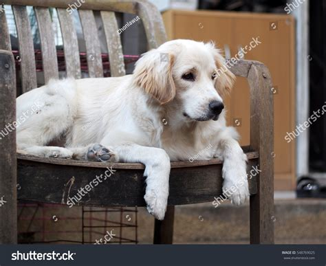 small that looks like a golden retriever lovely crossbreed looks stock photo 548769025