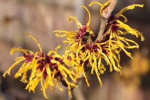 witch hazel flower download foto gambar wallpaper