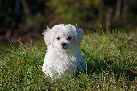 wandlen kaufen malteser dogclub dogclub der hunde