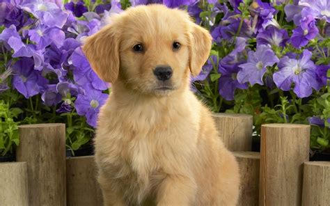 Puppy Golden Retriever golden retriever puppy and flowers photo and