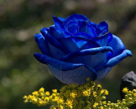 imagenes de flores azules top marcos para fotos de rosas azules wallpapers