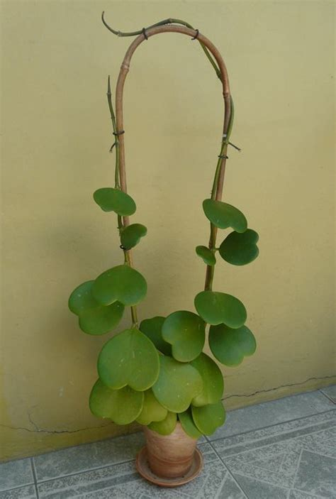 Lucky Bamboo Verzorging by Hoya Kerrii Hartjesplant The Bamboo Would Be Great For