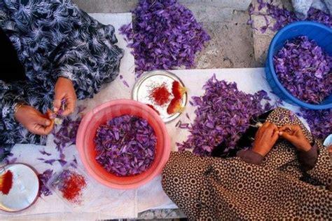 coltivazione zafferano in vaso come coltivare zafferano in vaso e a terra