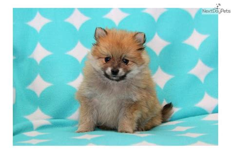 pomeranian beagle mix grown pomeranian beagle mix images pictures becuo breeds picture