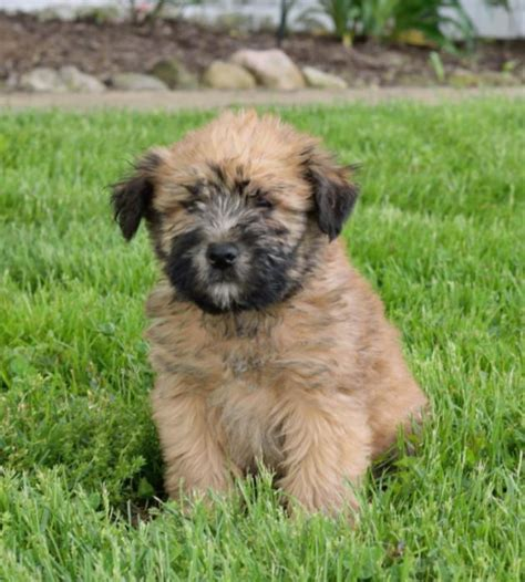 soft coated wheaten terrier puppies for adoption beautiful soft coated wheaten terrier puppies craigspets