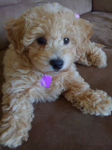 bich poo also known as poochon bichpoo bichon poodle poochon puppies dog puppy