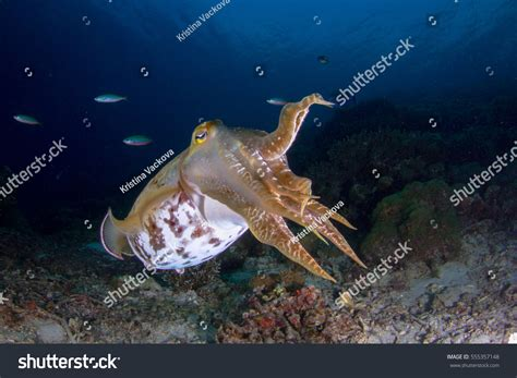 cuttlefish changing color cuttlefish sepia sepiida changing colors stock
