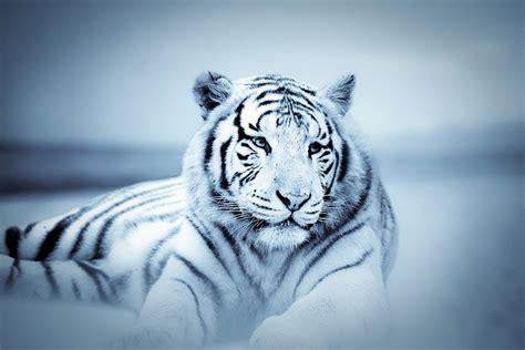 imagenes de tigres verdes szklany obraz tiger white tiger kup na posters pl