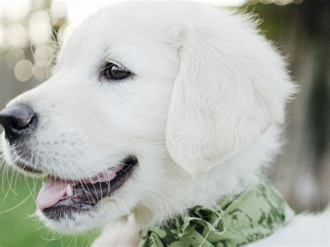 golden acres retrievers white golden acre retrievers puppies for sale