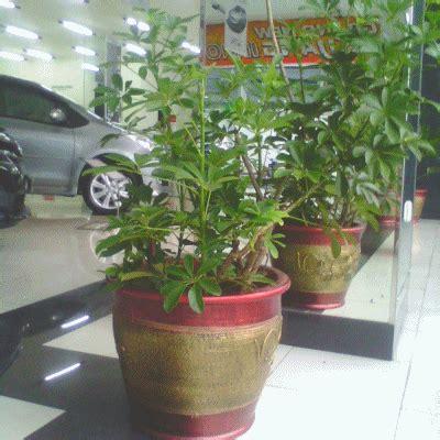 Teh Pucuk Ukuran Besar walisongo daun kecil tanaman disewakan sewa tanaman