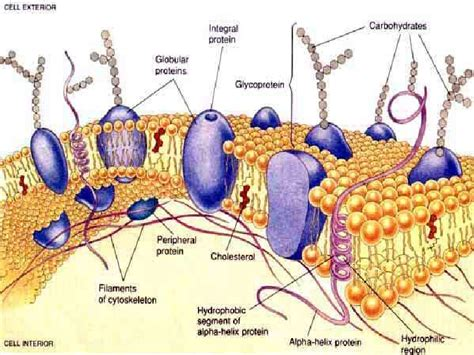 carbohydrates on cell membranes help cells cell membrane powerpoint diffusion and osmosis revised