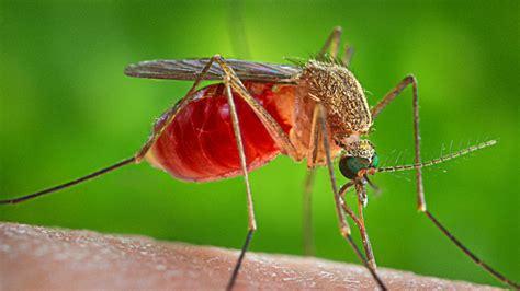 L Malaria by Modifican 233 Ticamente A Mosquitos Para Luchar Contra La