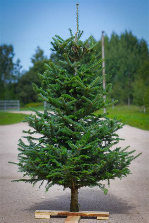 hich christmas tree smells the best top 28 best smelling tree 28 images best smelling tree beneconnoi top 28 get that