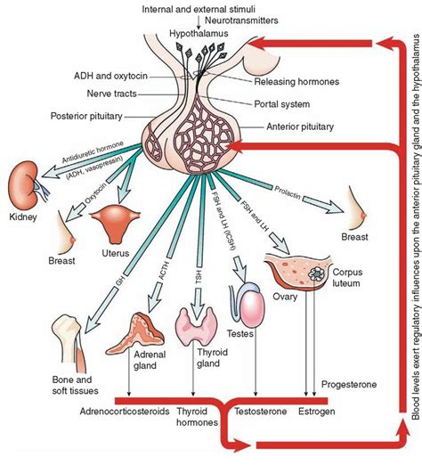 hyperthyroidism and mood swings best 20 endocrine system ideas on pinterest physiology