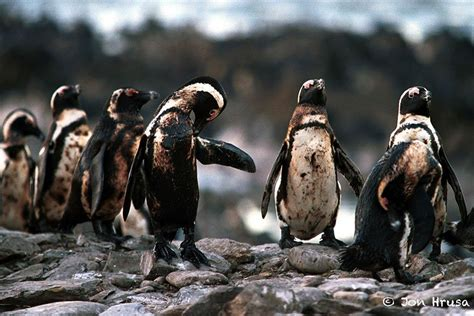 7 penguins soaked in oil and a raccoon with a harpoon
