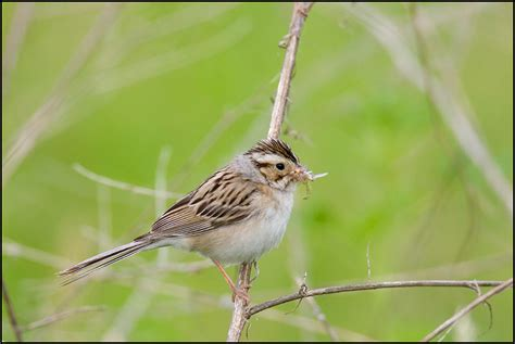 clay colored sparrow central wisconsin