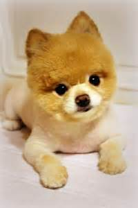 can i shave my pomeranian our pomeranian animals pomeranians