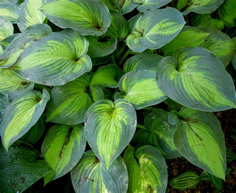 larger hostas carolyn s shade gardens