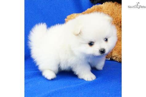 boo the pomeranian for sale pomeranian puppy for sale near springfield missouri ddc6ddbc aae1
