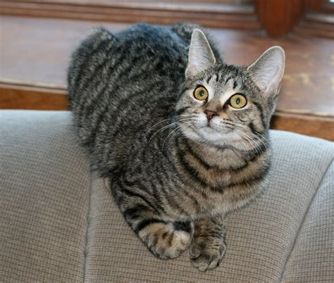 The Stripe Cat Grey Striped Cat Breeds Cats Types