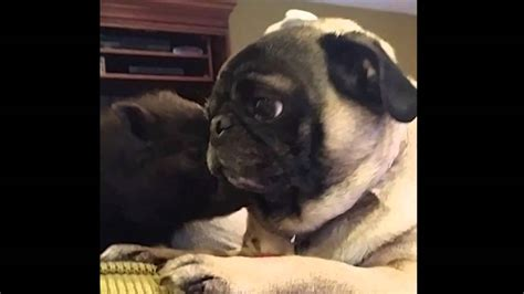 pig pug pug meets mini pig how they reacted when they saw each other is priceless