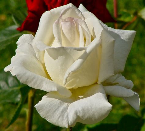 file rose blanche 1 jpg wikimedia commons