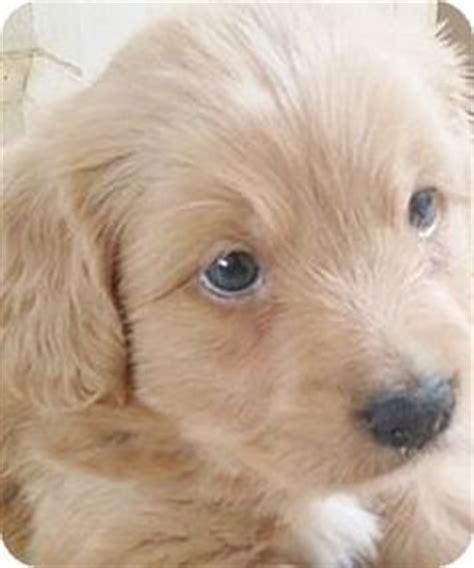 afghan hound golden retriever mix afghan hound golden retriever mix wag more less