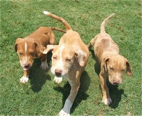 catahoula bulldog puppies catahoula bulldog breed information and pictures