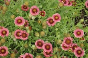 heat tolerant crops drought resistant perennials drought tolerant perennials