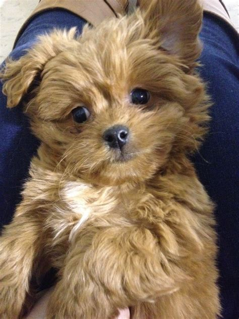 ewok puppy pics for gt ewok breed