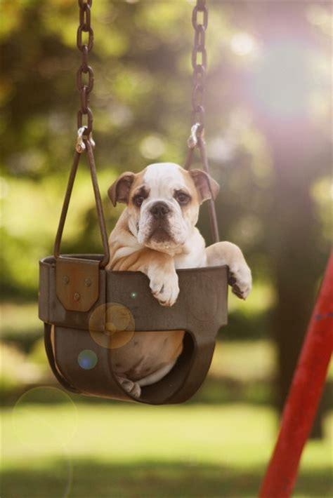 bulldog in a swing bulldog cute dog swing image 300773 on favim com